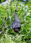 Grey-headed Flying-fox (Pteropus poliocephalus)